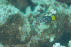 BD-120424-Marsa-Alam-6396-Anampses-meleagrides.-Valenciennes.-1840-[Spotted-wrasse].jpg
